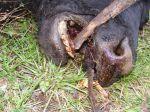 Cattle mutilation 3
